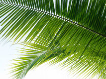Coconut leaf background Royalty Free Stock Images