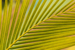 Leaves of coconut tree. Coconut leaf backside light in the afternoon royalty free stock photos