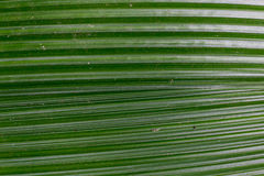 Coconut leaf in detail as a background Royalty Free Stock Photo