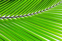 Coconut Leaf Stock Photos