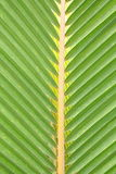 Coconut leaf. Stock Image