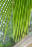 Coconut leaf green Royalty Free Stock Photography