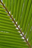 Coconut leaf green Royalty Free Stock Images