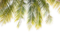 Coconut leaf  isolated on white bac Royalty Free Stock Photography