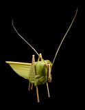 Coconut leaf origami grasshopper Stock Photos