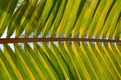 Coconut leaf Royalty Free Stock Photos