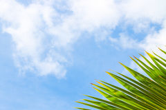 Coconut leaf with sky background Stock Photography