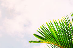 Coconut leaf  sky Stock Image