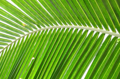 Coconut leaf structure Royalty Free Stock Photo