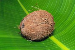 Coconut on a leaf. Royalty Free Stock Photo