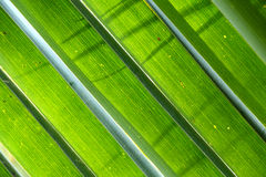 Coconut leafs Royalty Free Stock Image