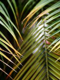 Coconut leafs Stock Photography