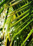 Coconut leafs Royalty Free Stock Photography