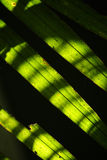 Coconut leaves. Sunlight falling on coconut leaves Stock Images