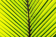 Coconut leaves. Green coconut leaf pattern Stock Photography