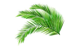Coconut leaves. Green leaves, summer Royalty Free Stock Photos