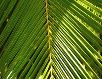 Coconut leaves Stock Photography
