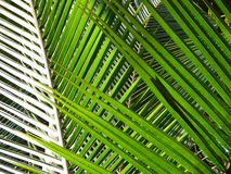Coconut Leaves. Various shades of Green seen on the coconut leaves in the natural sunlight Royalty Free Stock Image