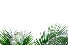 Coconut leaves with branches on white isolated background for green foliage backdrop stock image