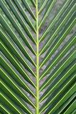Coconut leaves. Close up of coconut leaves Royalty Free Stock Photo