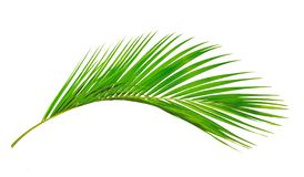 Coconut leaves or Coconut fronds, Green plam leaves, royalty free stock image
