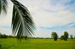 Coconut leaves. On the grass with wide blue sky Royalty Free Stock Photo