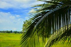 Coconut leaves. On the grass with wide blue sky Royalty Free Stock Photos