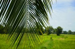 Coconut leaves. On the grass with wide blue sky Royalty Free Stock Photography