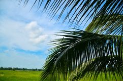Coconut leaves. On the grass with wide blue sky Stock Image