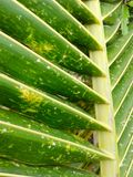 Coconut leaves Stock Photo