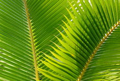 Coconut leaves Royalty Free Stock Photo