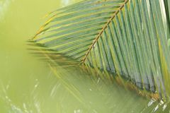 Coconut leaves. Of nature abstract reflection Royalty Free Stock Images