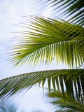 Coconut leaves palm tree Stock Photo