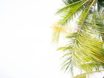 Coconut leaves palm tree Stock Photos