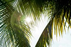 Coconut leaves and sun over green palm leaves. stock images