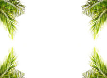 Coconut leaves on white background Stock Image