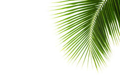 Coconut leaves. Royalty Free Stock Photo
