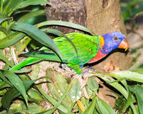 Coconut lorikeet  parrot Royalty Free Stock Photo