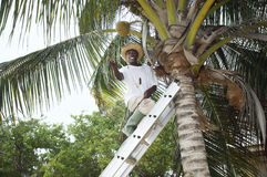 Coconut man. Man up a palm tree tossing a coconut nut down Stock Photos