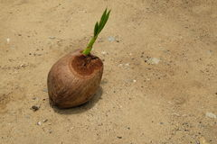 Coconut with new young leaf. On soil Royalty Free Stock Image