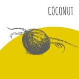 Coconut nut fruit vector botanical illustration sketch plant. Coconut nut fruit vector sketch botanical plant illustration. Exotic tropical palm fruit sketch Stock Image