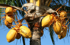 Coconut nut palm tree. Closeup stock images