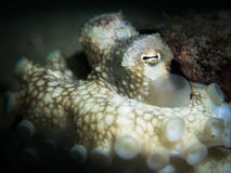 Coconut Octopus - Amphioctopus marginatus Coconut Octopus - Amphioctopus marginatus Royalty Free Stock Image