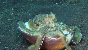 Coconut octopus Amphioctopus marginatus is making house from shells on the sand in the night in Lembeh strait. Indonesia stock video footage