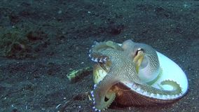 Coconut octopus Amphioctopus marginatus is making house from shells on the sand in the night in Lembeh strait. Indonesia stock footage