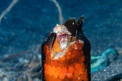 Coconut Octopus in a broken bottle Stock Photo