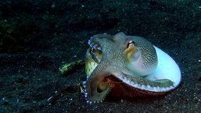 Coconut octopus carring shell in the night Lembeh strait Indonesia stock video footage