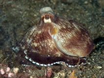 Coconut octopus Stock Photography