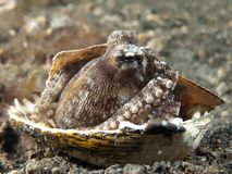 Coconut octopus. In molucca sea royalty free stock photography