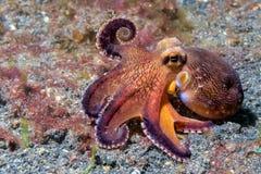 Coconut octopus underwater macro portrait on sand Stock Images